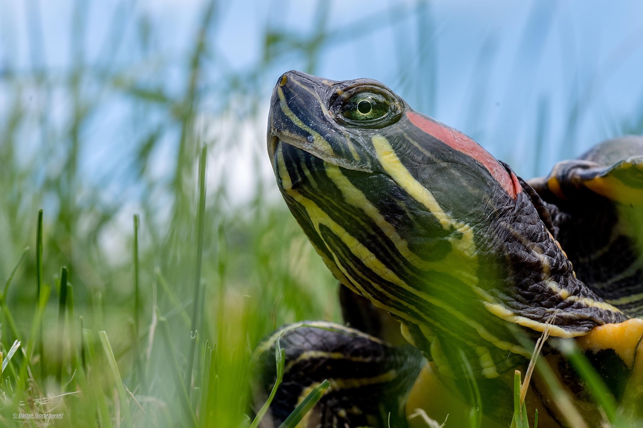 żółwie w Fosie Miejskiej we Wrocławiu